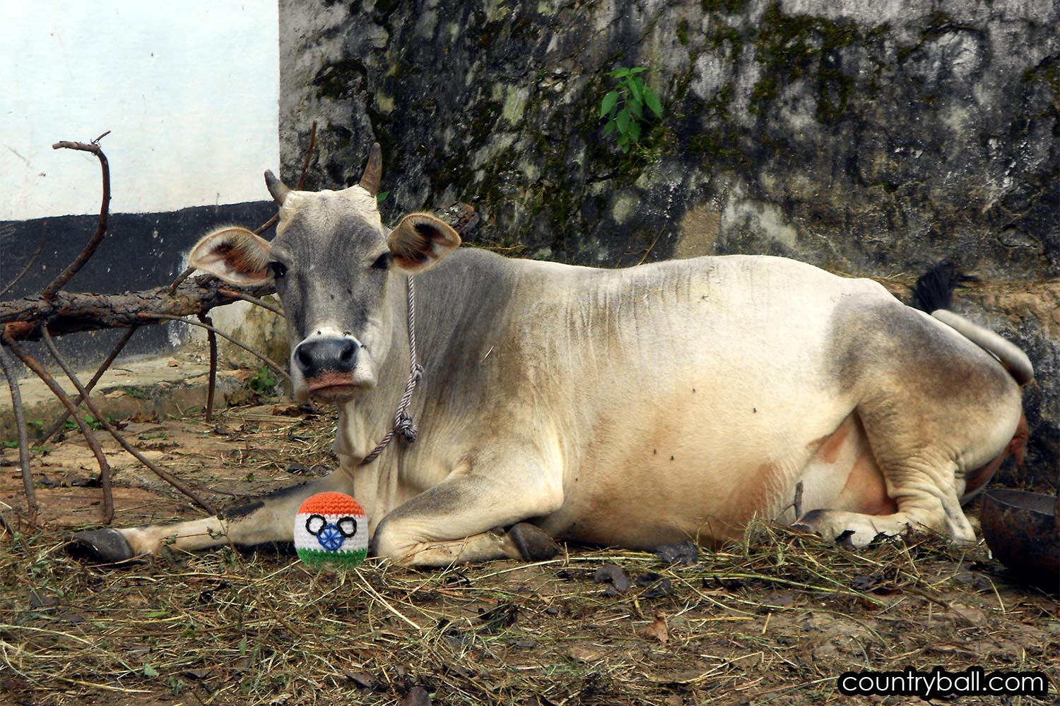 Indiaball with a Holy Cow